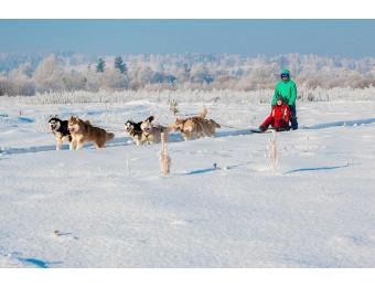 Катание на собачьей упряжке с Хаски